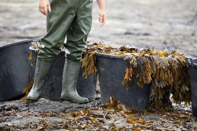 Voya Seaweed Harvest